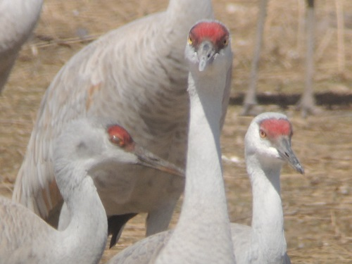 close up of crane with red head