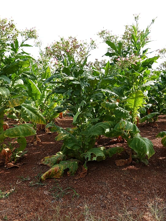 Tobacco growing at Monticello.